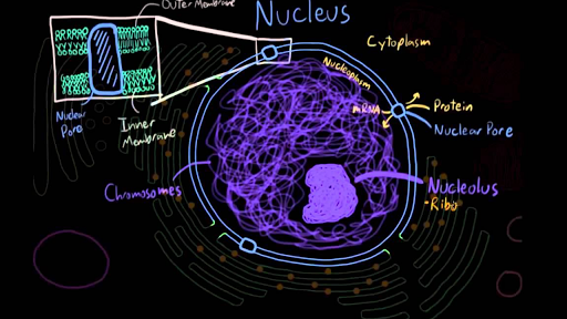 The Nucleus Video Eukaryotic Cells Khan Academy