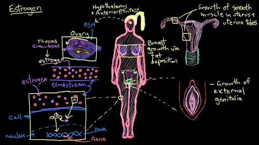 Estrogen Video Khan Academy