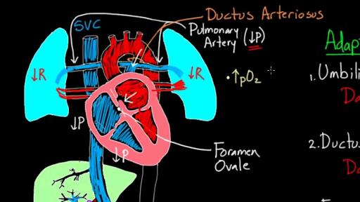 Fetal Circulation Right Before Birth Video Khan Academy