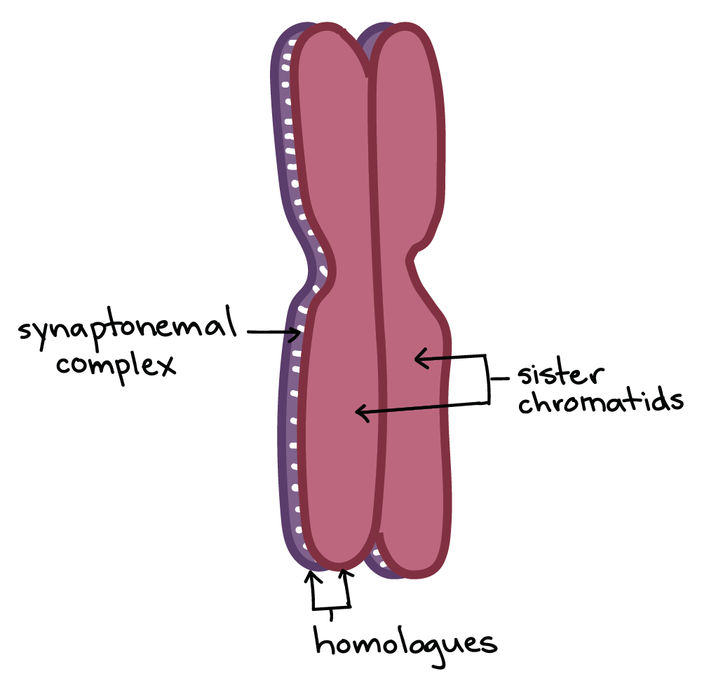 Meiosis Cell Division Biology Article Khan Academy Simple Animal Diagram Labeled For Kids Plant And Image Of Two Homologous Chromosomes Positioned One On Top The Other Held Together