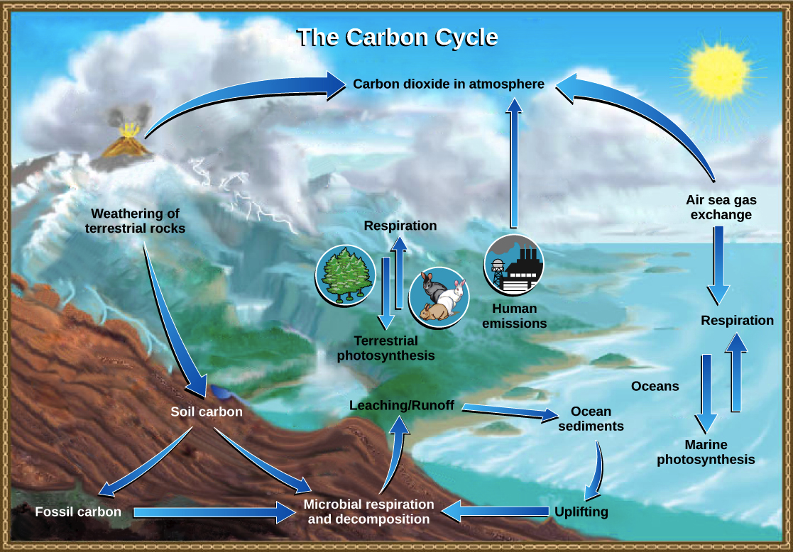 The carbon cycle (article) | Ecology | Khan Academy