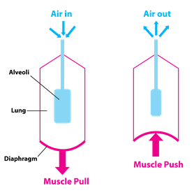 Pressure regulation and fluid dynamics of the respiratory system figure 1 a simplified diagram of the respiratory system ccuart Images
