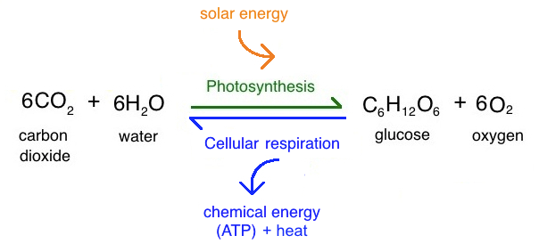 intro to photosynthesis article  khan academy on a simplified level photosynthesis and cellular respiration are opposite  reactions of each other