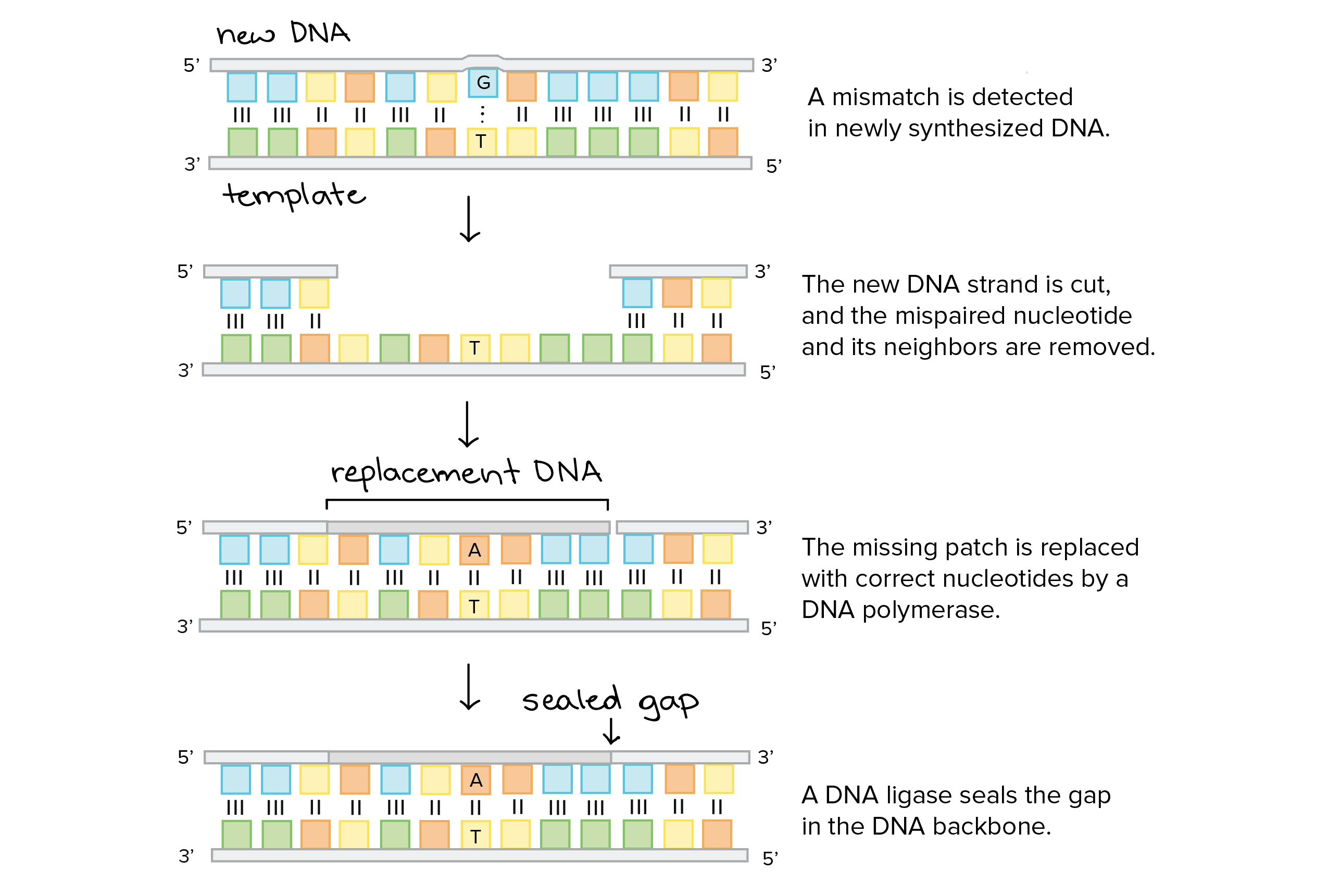 DNA proofreading and repair (article) | Khan Academy