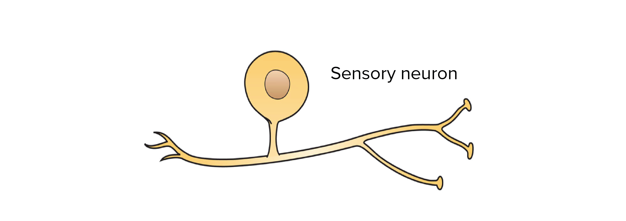 simple diagram of a sensory neuron, showing that it has just one process  that leaves