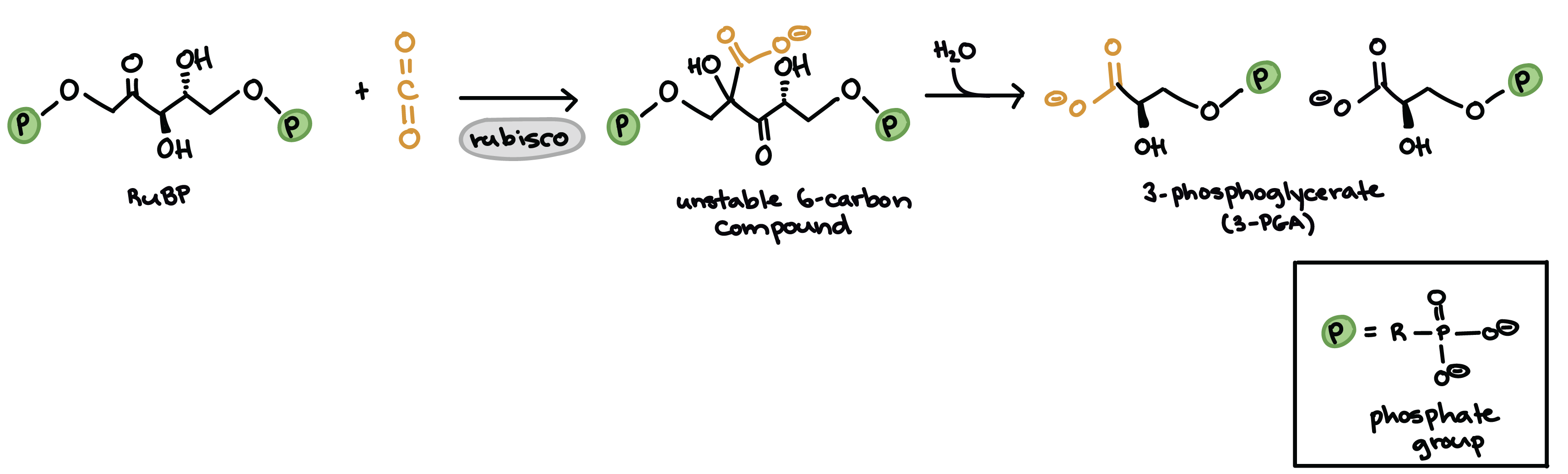 Diagram Showing The Molecular Structures Of Rubp And Carbon Dioxide The Unstable Six Carbon