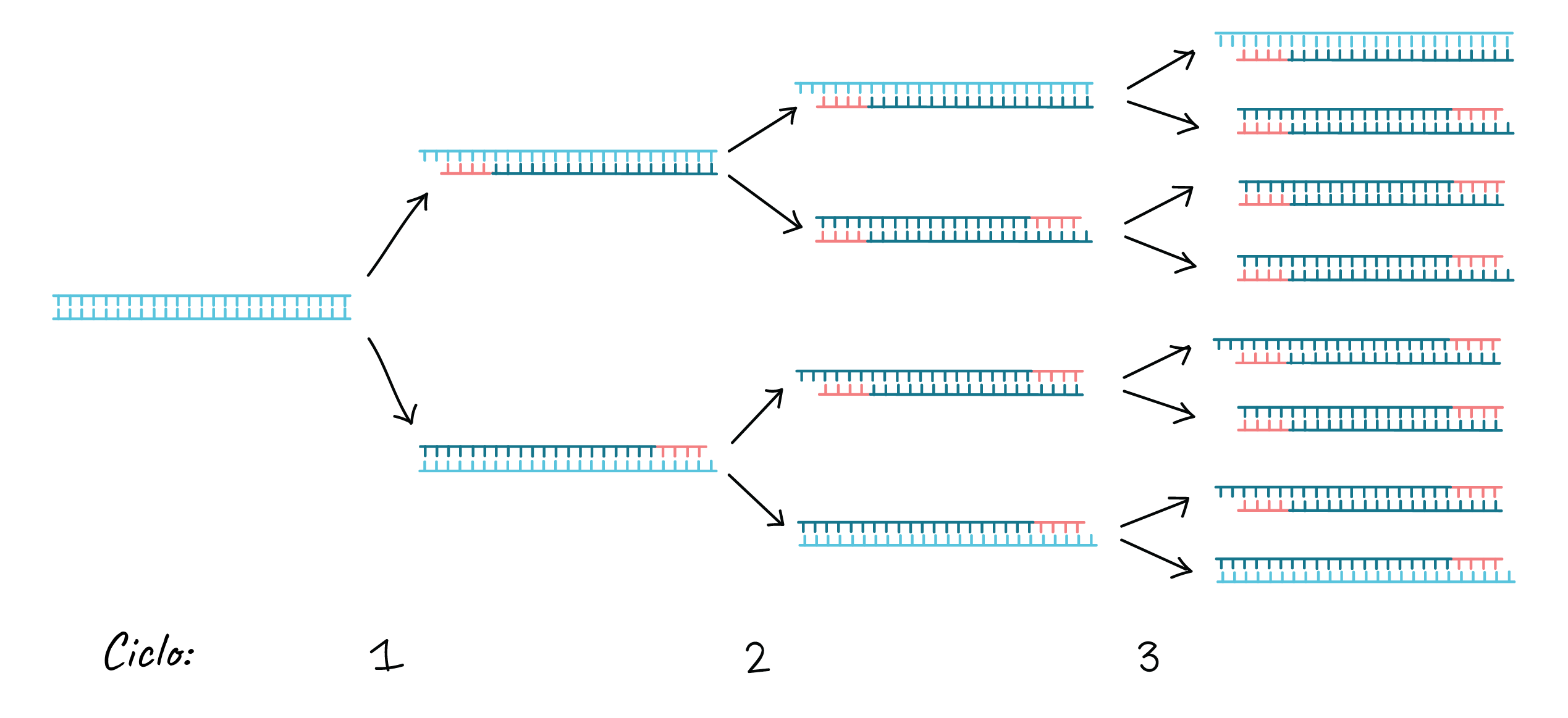 Reacción en cadena de la polimerasa (PCR) (artículo) | Khan Academy