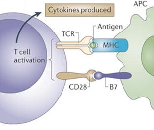 definition activated lymphocyte