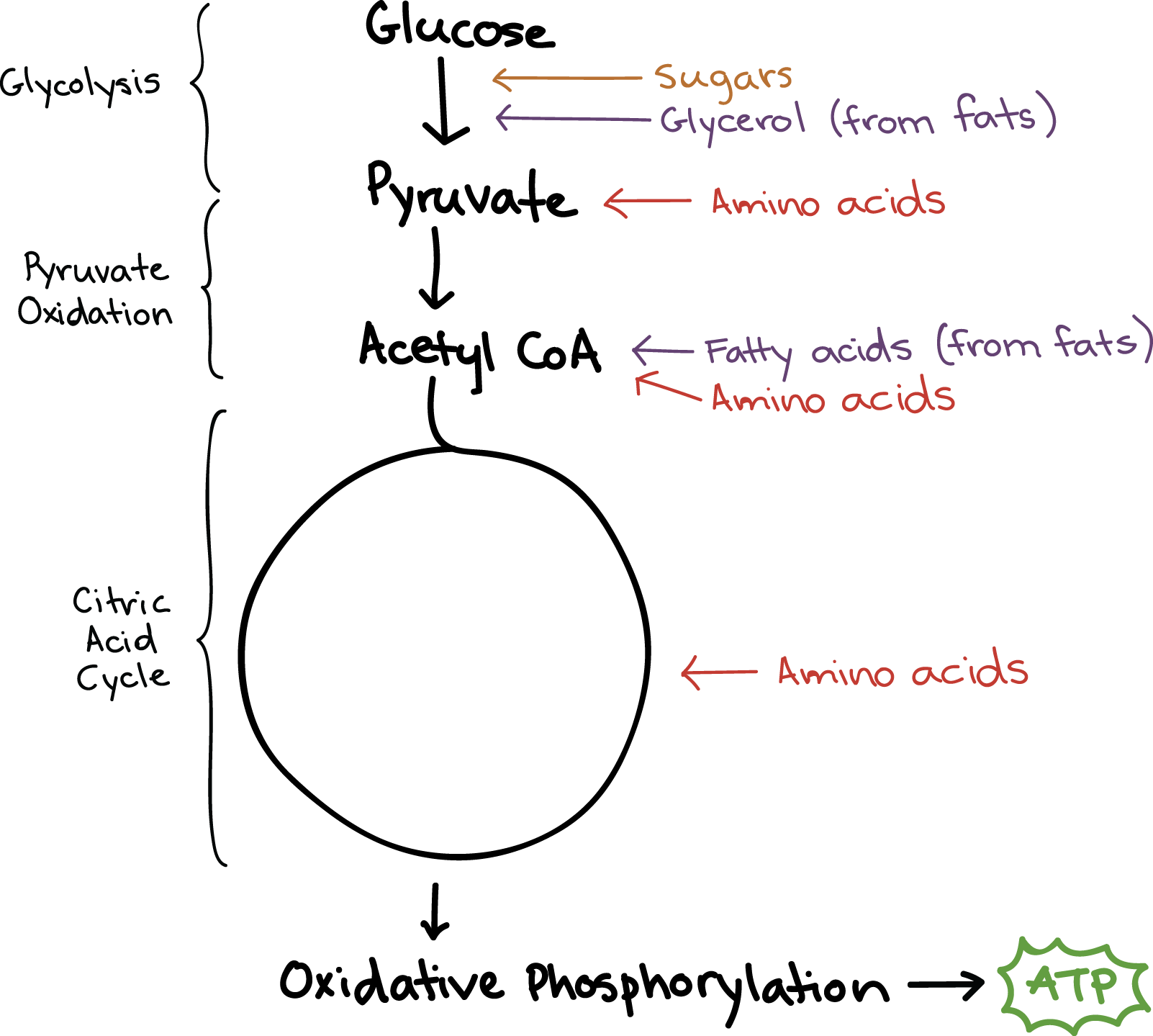 products of aerobic respiration include