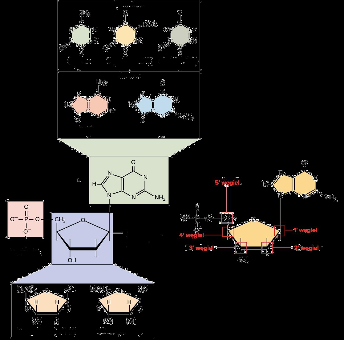 Kwasy Nukleinowe Artykul Khan Academy