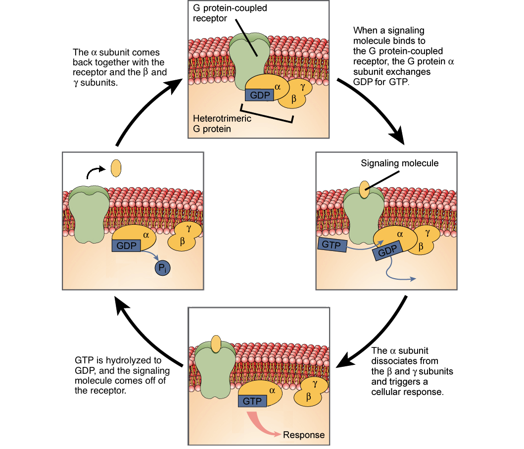 lock and key activation gpcr
