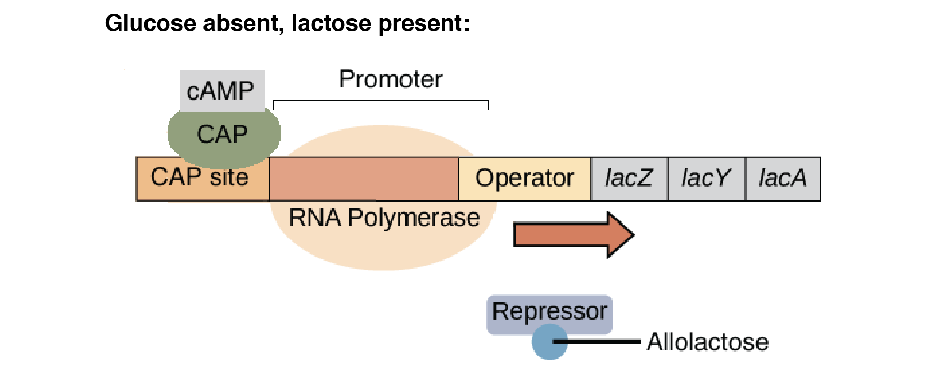 The lac operon consists of genes biology essay