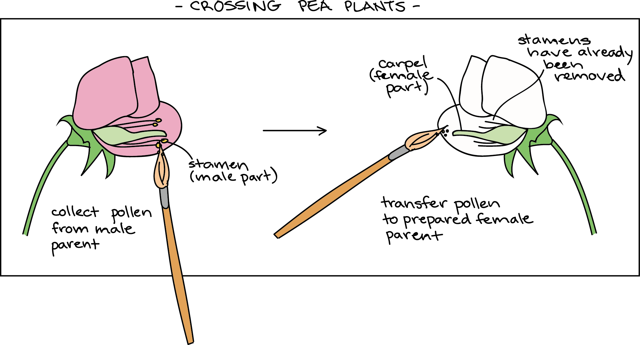diagram of pea flowers, showing how a cross is performed  first, a flower