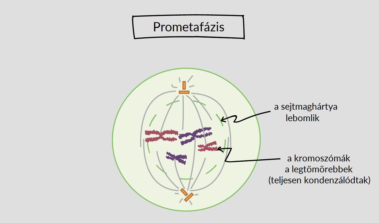 rák, amely mitózis
