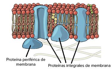 Estructura De La Membrana Plasmática Artículo Khan Academy