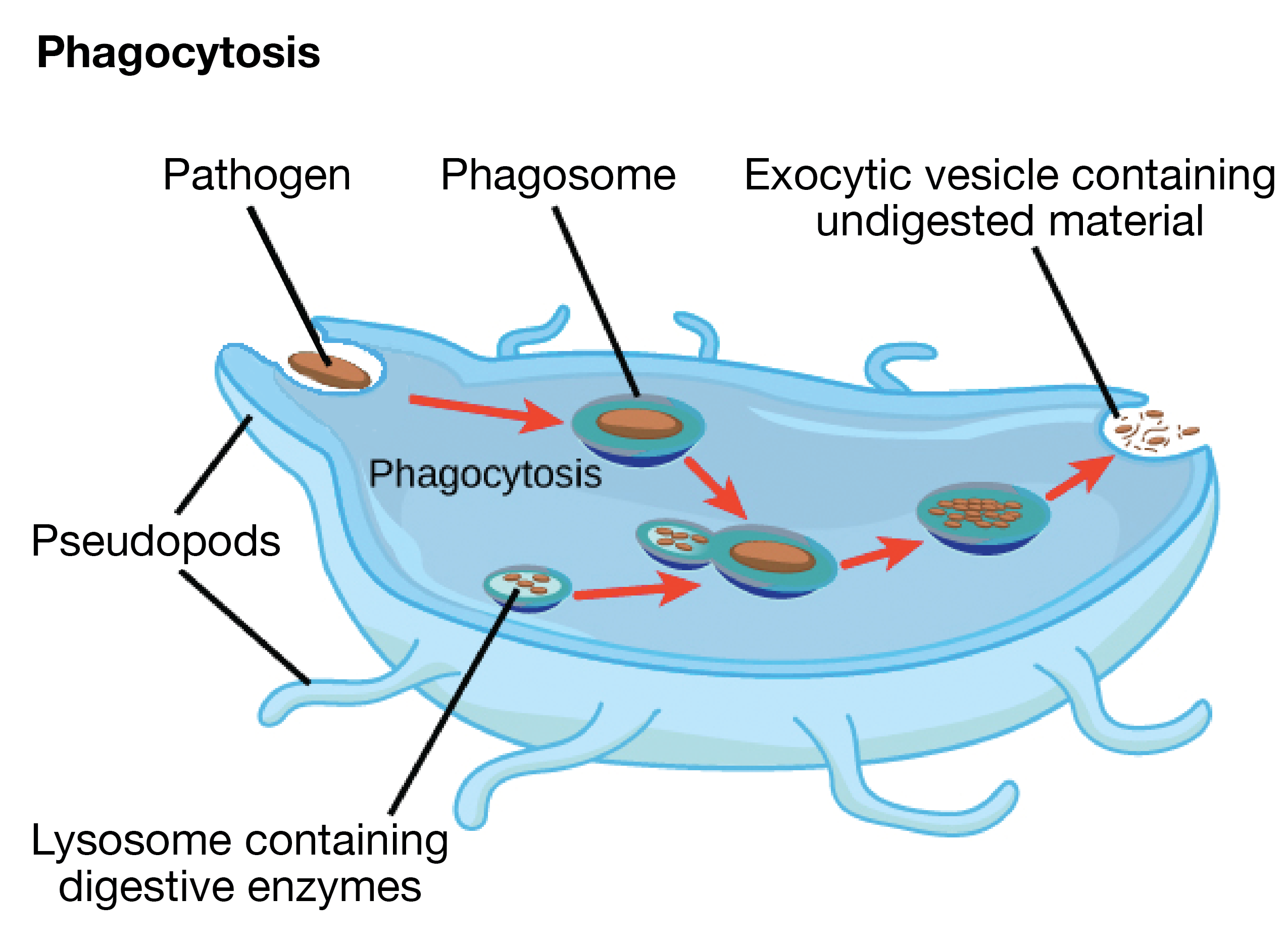 the endomembrane system (article) khan academy