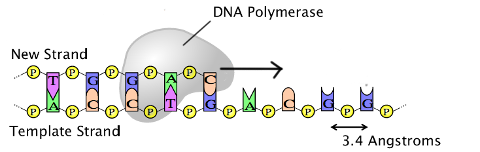 dna polymerase