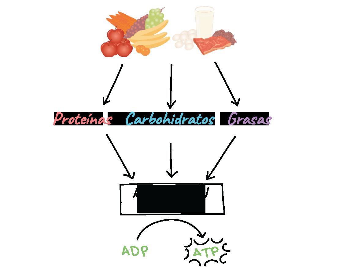 Ejemplos De Procesos Metabolicos Que Realiza El Cuerpo..
