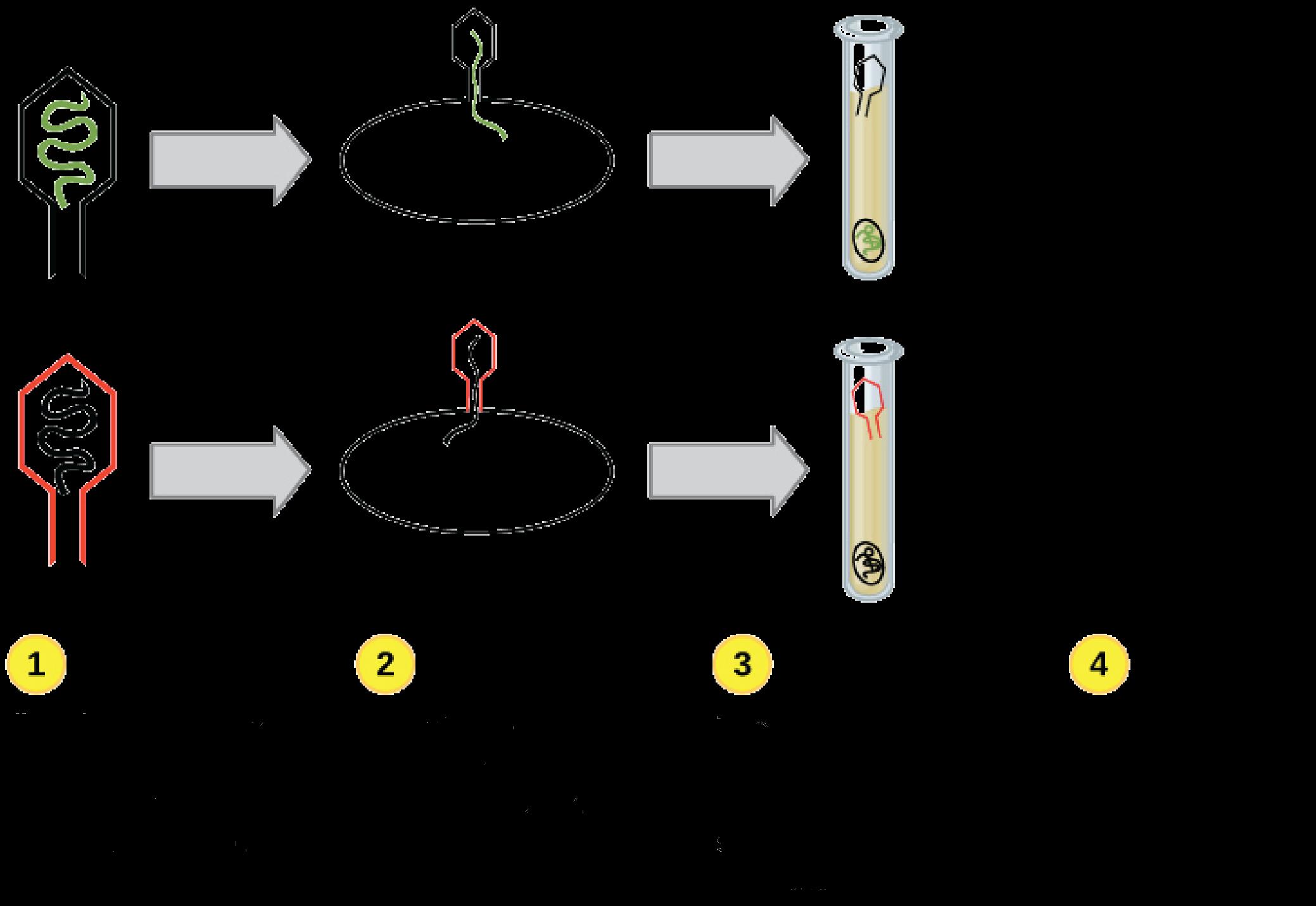 Molekularny Mechanizm Replikacji Dna Artykul Khan Academy