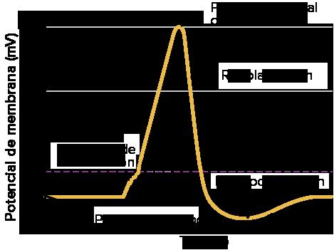 Preguntas Y Respuestas Despolarizacion Hiperpolarizacion Y Potenciales De Accion De Neuronas Articulo Khan Academy
