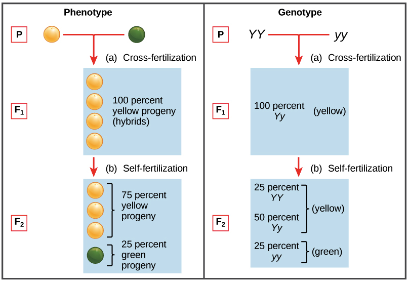 pea plant punnett square sheet