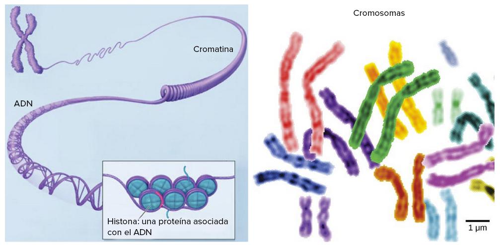 9d82774740e3 El núcleo y los ribosomas (artículo) | Khan Academy