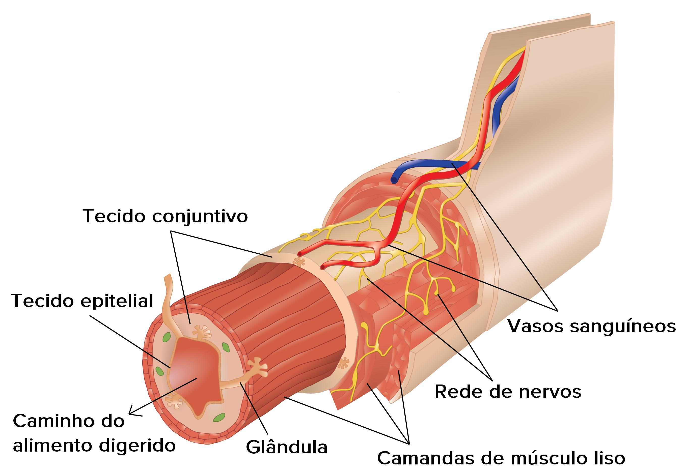 Músculos sistema trabalha o com como circulatório os