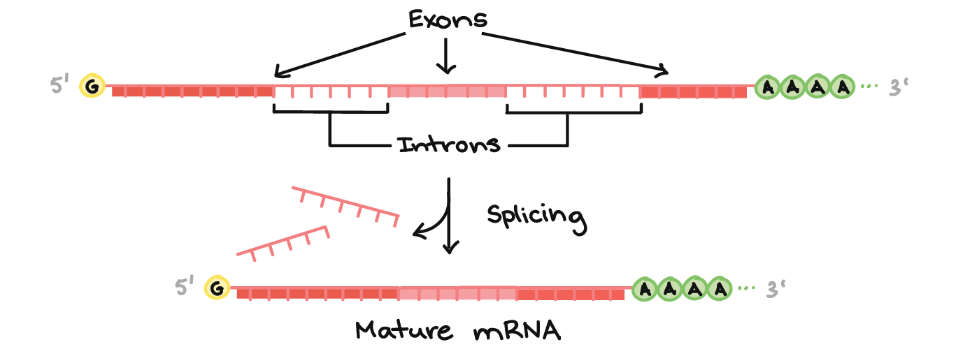 Eukaryotic pre-mRNA processing | RNA splicing (article