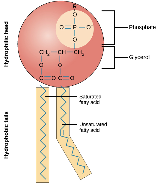 phospholipid, showing hydrophilic head with phosphate group and hydrophobic  fatty acid tails