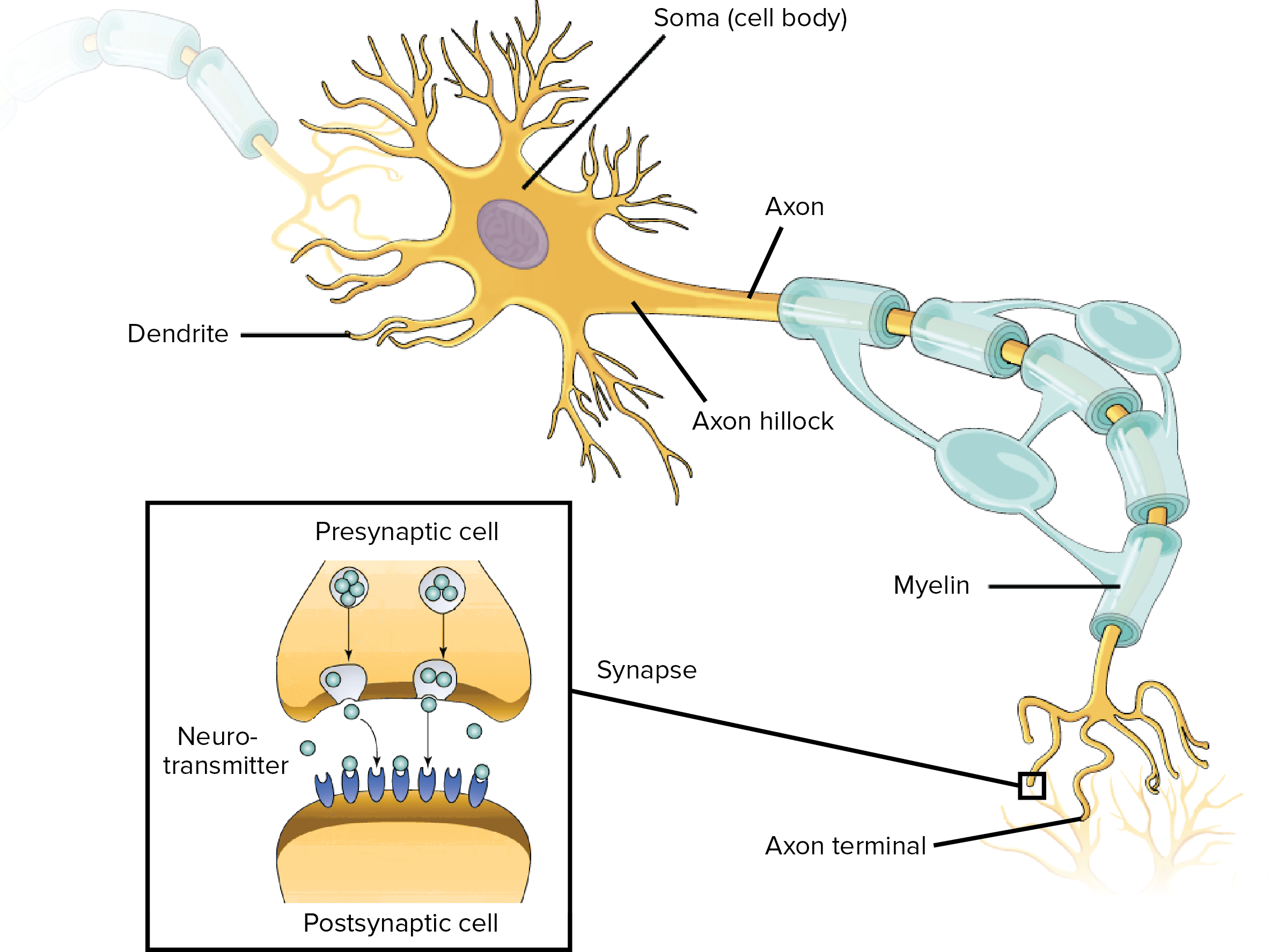 Overview of neuron structure and function (article) | Khan