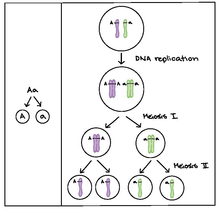 The chromosomal basis of inheritance (article) | Khan Academy