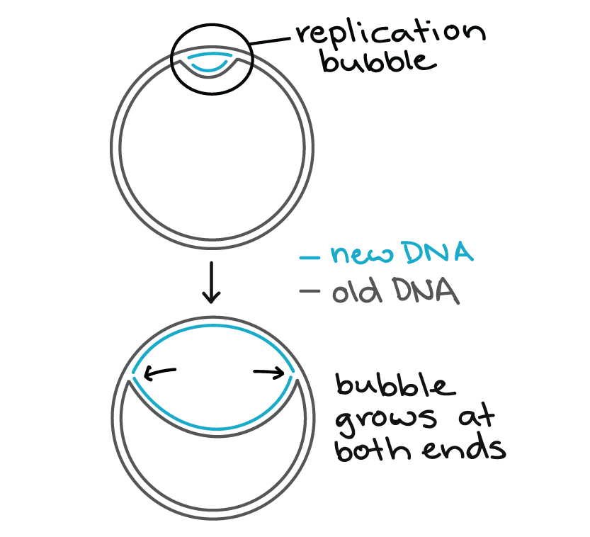 Molecular Mechanism Of Dna Replication Article Khan Academy