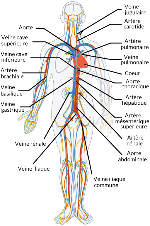 Revision Du Systeme Circulatoire Lecon Khan Academy