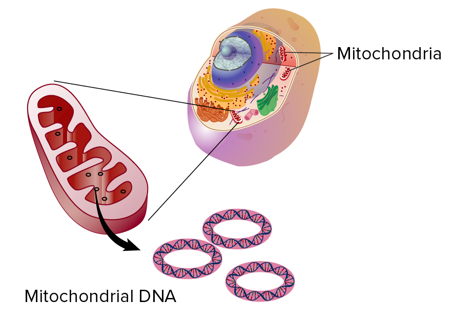 Diagram of a eukaryotic cell, showing the location of the mitochondria  (floating in the 65156f1da8cb