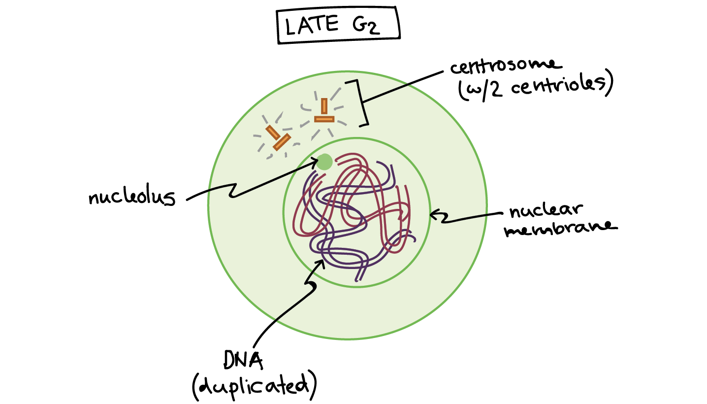 phases of mitosis mitosis biology (article) khan academy skin diagram of mitosis late g2 phase the cell has two centrosomes, each with two centrioles, and