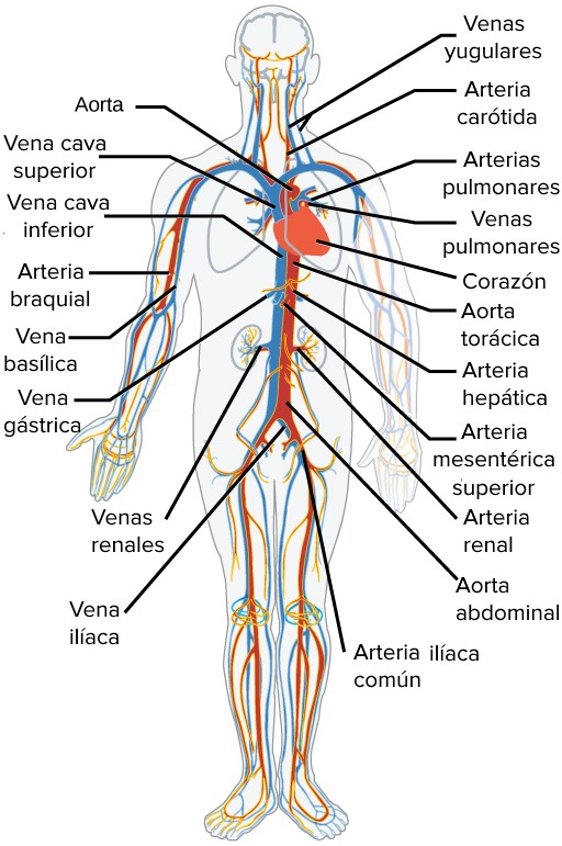 Principales cuerpo arterias