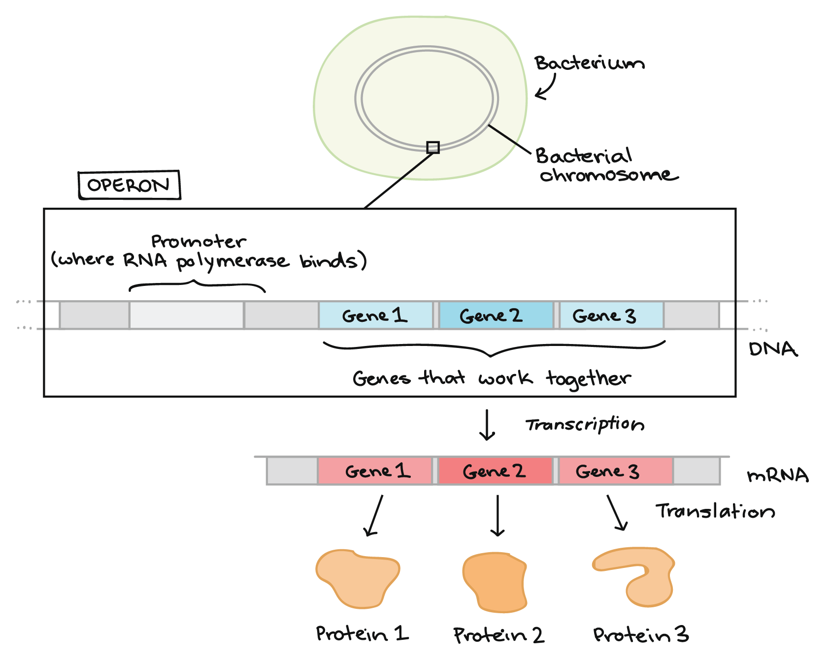 overview gene regulation in bacteria (article) khan academydiagram illustrating what an operon is at the top of the diagram, we see