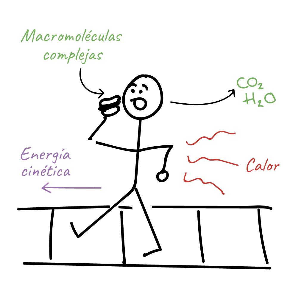 Caricatura de una persona caminando, con una hamburguesa en la mano. La persona está consumiendo macromoléculas complejas de la hamburguesa y liberándolas en forma de moléculas de dióxido de carbono y agua, lo que aumenta la entropía. También está caminando hacia adelante (y convierte la energía química de las macromoléculas en energía cinética), pero buena parte de la energía liberada se pierde en forma de calor (lo que también aumenta la entropía).