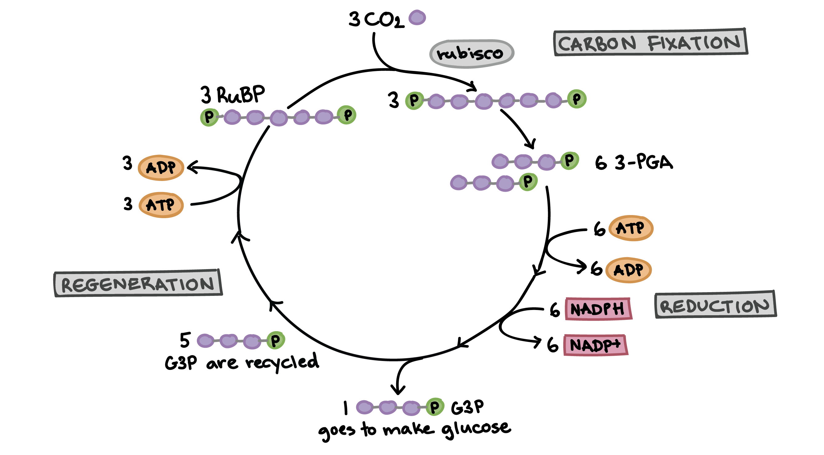 the calvin cycle article  photosynthesis  khan academy diagram of the calvin cycle illustrating how the fixation of three carbon  dioxide molecules allows