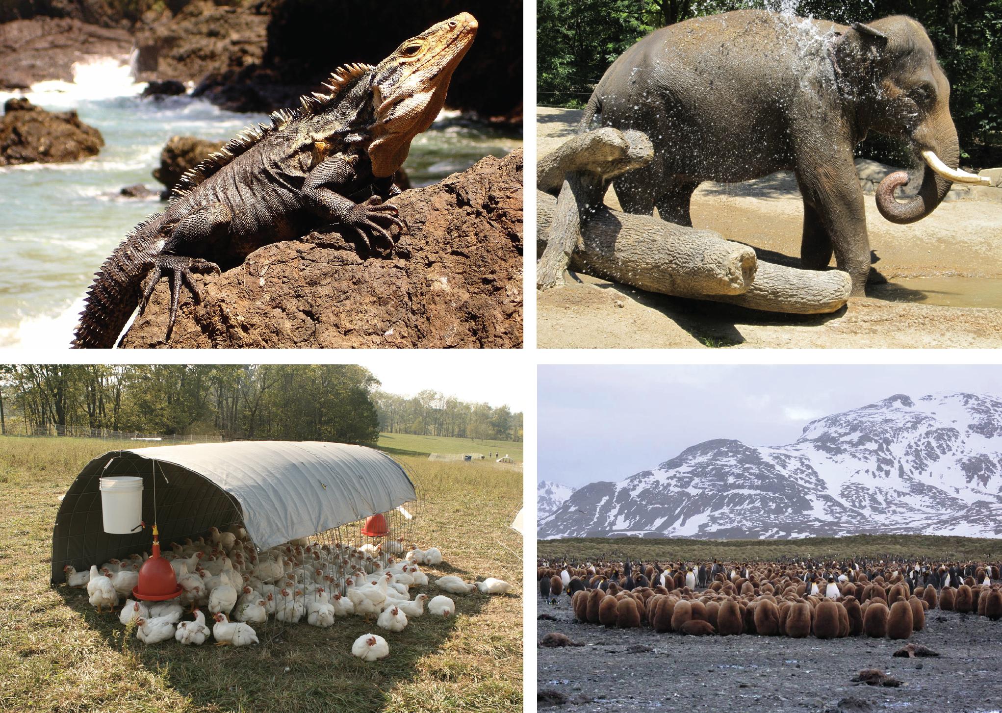 Acima à esquerda, iguana se aquecendo ao sol sobre uma rocha; acima à direita, elefante se borrifando com água; abaixo à esquerda, galinhas criadas livremente sentadas à sombra sob uma lona em um campo; abaixo à direita, filhotes de pinguim se amontoando para se aquecerem.