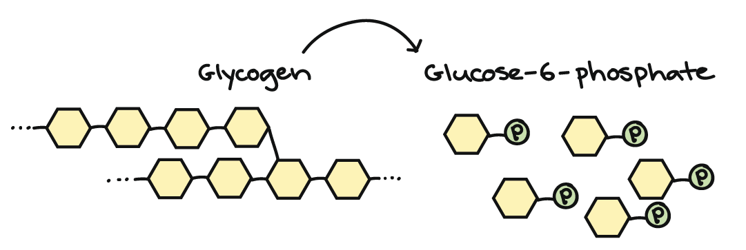 Connections between cellular respiration and other pathways