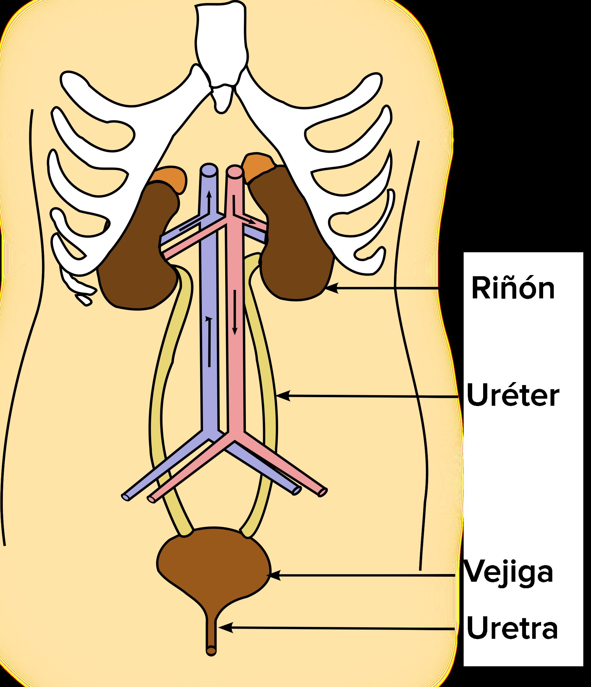 Repaso de los sistemas digestivo y excretor (artículo)   Khan Academy