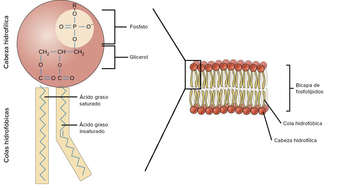 Lípidos Artículo Macromoléculas Khan Academy