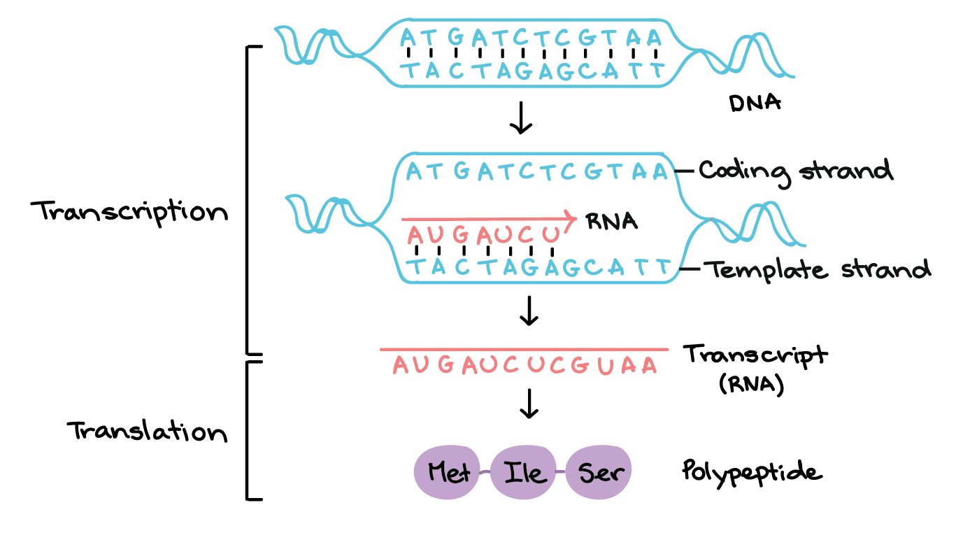 in transcription, a region of dna opens up  one strand, the template strand