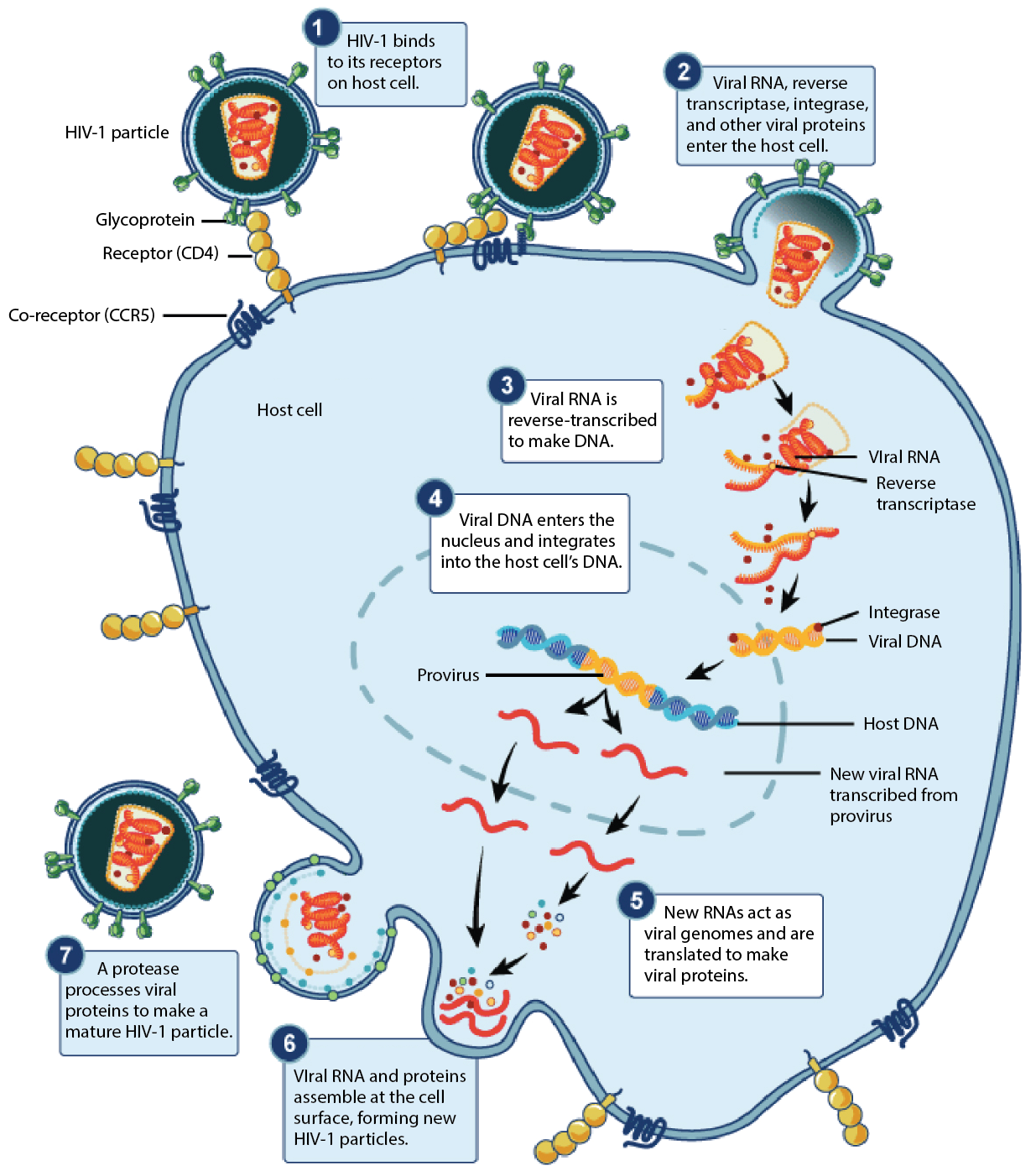 The Life Cycle of Viruses with Prokaryote Hosts