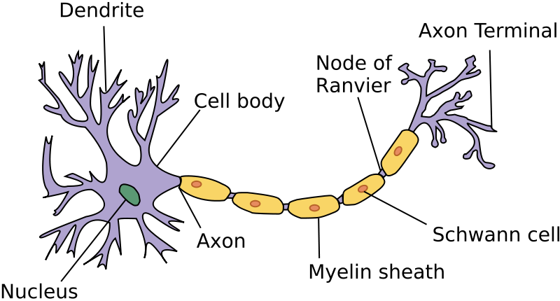 The nervous and endocrine systems review (article)   Khan Academy