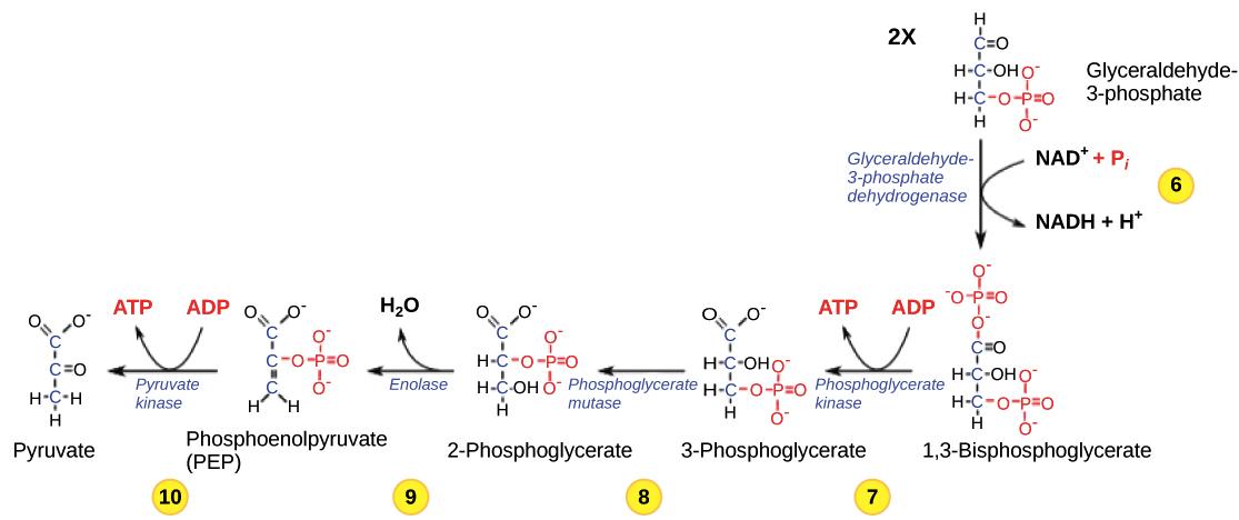 Arabidopsis thaliana col superpathway of cytosolic glycolysis ...