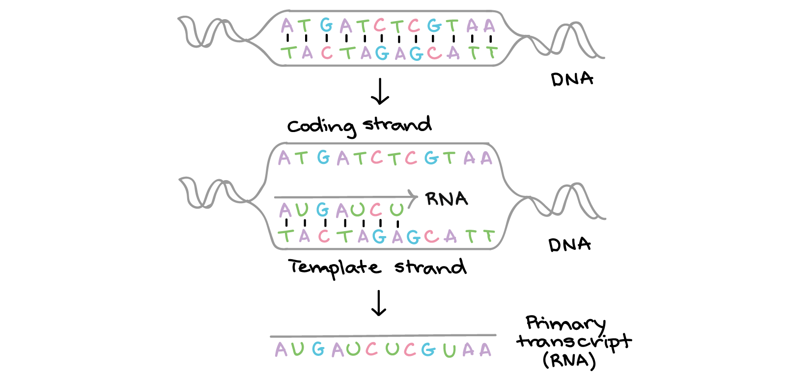 Central Dogma Dna To Rna To Protein Biology Science Khan Academy