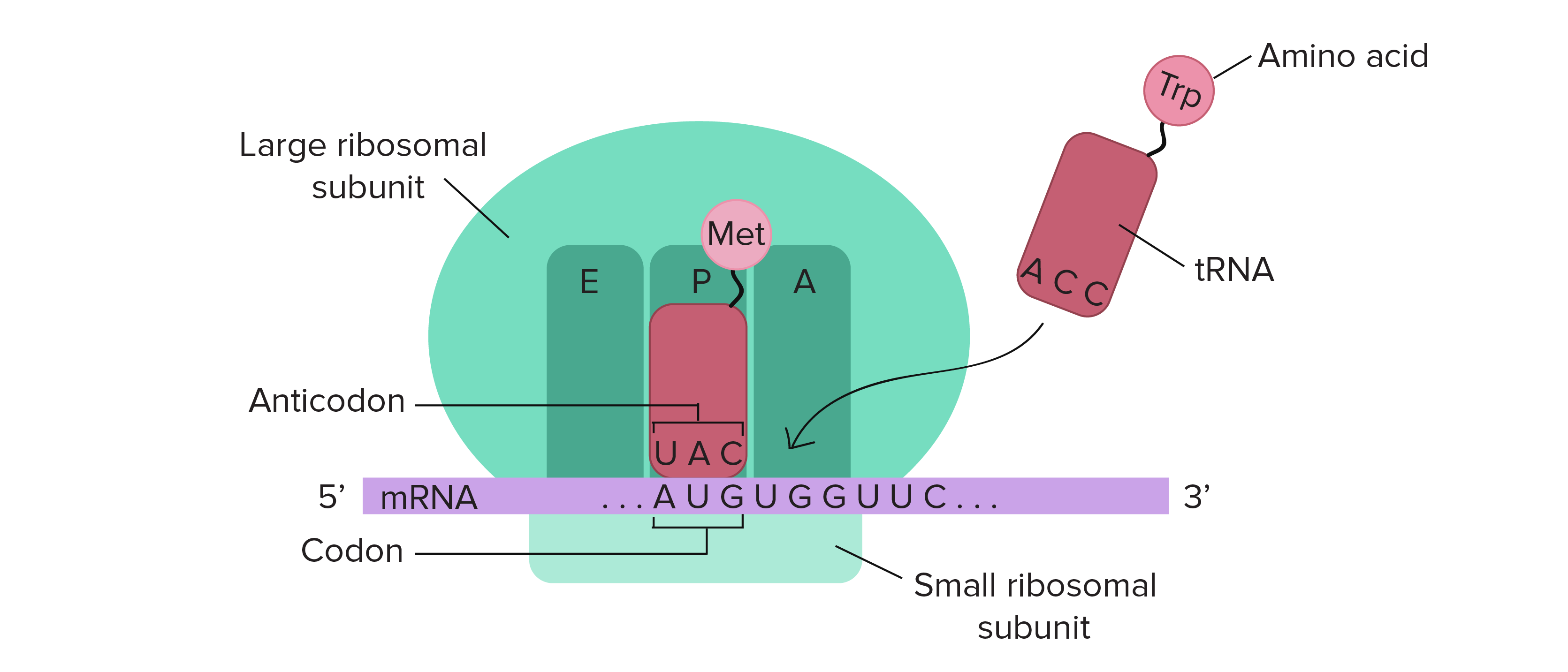 overview of translation (article) khan academy DNA Amino Acid Codon Chart ribosomes are composed of a small and large subunit and have three sites where trnas can
