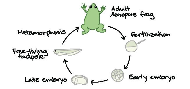 Frog development examples (article) | Khan Academy